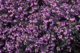 Heather 'Gracilis' Flowers Photographic Print by Adrian Thomas