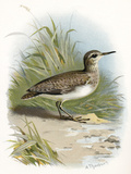 Sandpiper, Historical Artwork Prints by Sheila Terry