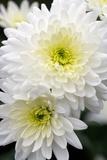 Chrysanthemum 'Arctic Queen' Photographic Print by Jon Stokes