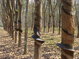 Rubber Tree Plantation Photographic Print by Bjorn Svensson