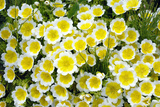 Poached Egg Plant (Limnanthes Douglasii) Poster by Kaj Svensson