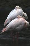 Flamingos Preening Photographic Print by Denise Swanson