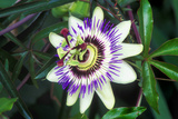 Passion Flower (Passiflora Sp.) Posters by Kaj Svensson