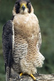 Peregrine Falcon Photographic Print by Bob Gibbons