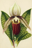 Lady's Slipper Orchid Photographic Print by Sheila Terry