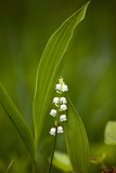 Convallaria Majalis (Lily of the Valley) Posters by Bob Gibbons