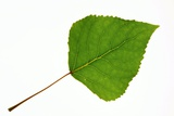 Quaking Aspen (Populus Tremuloides) Leaf Photographic Print by Bjorn Svensson