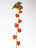 Chinese Lantern (Physalis Alkekengi) Photographic Print by Johnny Greig
