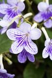 Streptocarpus Bethan Flowers Photographic Print by Jon Stokes