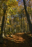 Beech Woodland In Autumn Photographic Print by Bob Gibbons