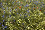 Cornfield Meadow In France Photographic Print by Bob Gibbons