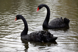 Black Swans Photographic Print by Denise Swanson