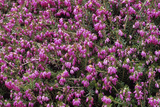 Heather 'Rosy Gem' Flowers Photographic Print by Adrian Thomas