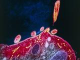 Malaria Parasite, TEM Photographic Print