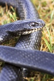 Large Whipsnake (Coluber Jugularis) Photographic Print