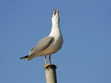 Herring Gull Photographic Print