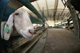 Goat Farming Photographic Print