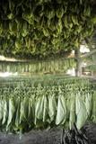Tobacco Farming Fotografisk tryk