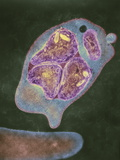Malaria Parasite, TEM Poster