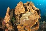 Giant Frogfish on a Large Sponge Posters