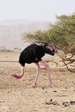 Ostrich on a Nature Reserve, Israel Posters