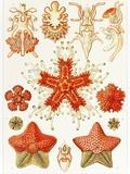 Asteroidea Organisms, Artwork Posters