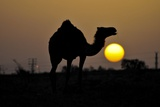 Arabian Camel Photographic Print