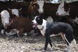 Beef Cattle Breeding Photographic Print