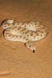 Sahara Sand Viper (Cerastes Vipera) Photographic Print