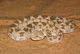 horned Viper (Cerastes Cerastes) Photographic Print