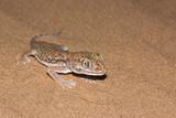 dune Gecko (Stenodactylus Petrii) Posters