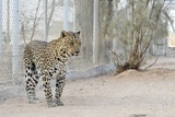 Arabian Leopard, Israel Photographic Print