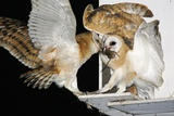 Barn Owls Feeding on a Rat Photographic Print