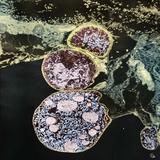 Malaria Parasites, TEM Photographic Print