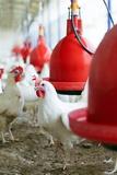 Organic Chicken Farming Poster