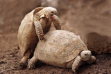 Greek Tortoises Mating Posters