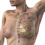 Breast Lymphatic System, Artwork Photographic Print