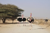 Ostriches In a Nature Reserve Photo