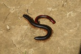 Red Millipede Photographic Print