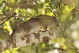 Brown Rat (Rattus Norvegicus) on a Tree Photographic Print