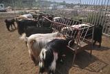 Goat Dairy Farm Photographic Print