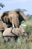 African Elephant And Calf Photographic Print