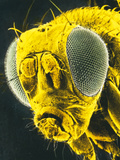 F-col SEM of Head of Fruit Fly, Drosophila Sp. Photographic Print