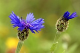 Syrian Cornflower-thistle Flowers Posters