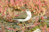 Common Sandpiper Posters