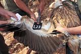 Griffon Vulture Affiches