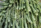 Burro's Tail Foliage Photographie