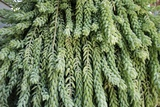 Burro's Tail Foliage Photographic Print