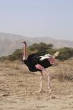 Ostrich In a Nature Reserve Prints