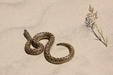Javelin Sand Boa (Eryx Jaculus) Photographic Print